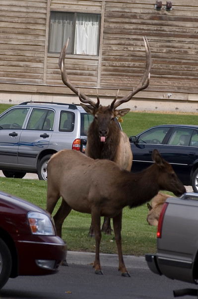 Elk sticking out its tongue. This image is only available as a low-resolution download for viewing on web sites.