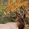 MEK-11085: Bull leaving scent on sapling