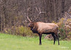 The collar on this Elk is Part of the Pa. Game Commissions tracking program. I am not sure how many Elk they are tracking at this time but I can assure you this is a wild free roaming Elk.