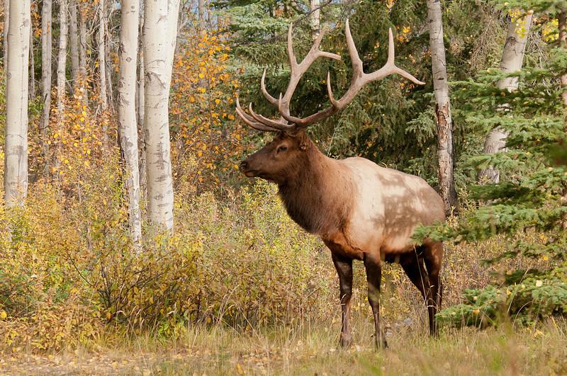 MEK-11103: Bull in Aspen forest