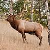 MEK-11178: Bull Elk