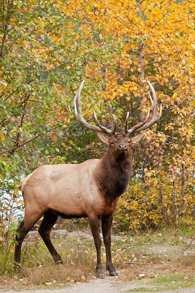 MEK-11089: Elk portrait