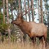 MEK-11141: Bull Elk