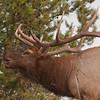 MEK-11204: Bugling Bull