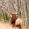 MEK-11196: Aspen forest bull