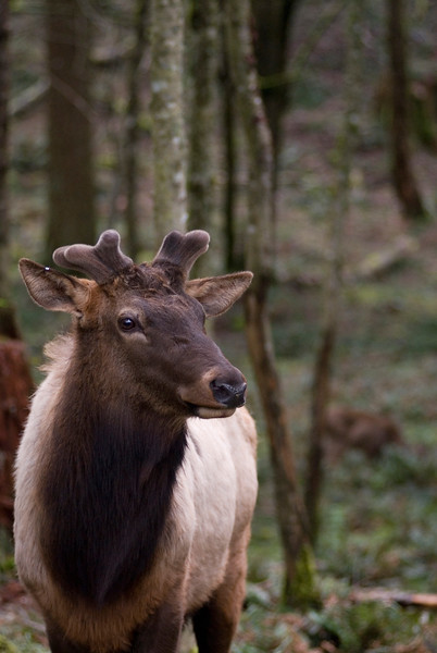 Female Roosevelt Elk<br /> Wildlife photography - Pictures of Animals - by professional wildlife photographer Christina Craft