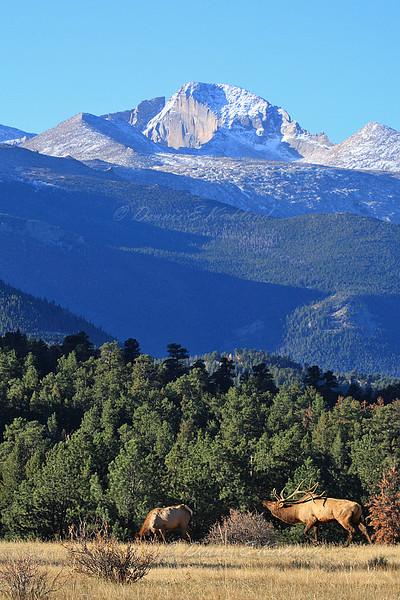 Rocky Mountain Elk Scene