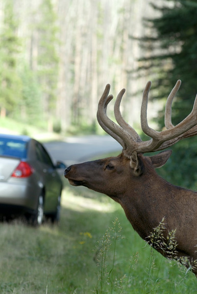 Elk Crossing - an elk peeks out from the woods onto the road - by wildlife and nature photographer christina craft - stock photo