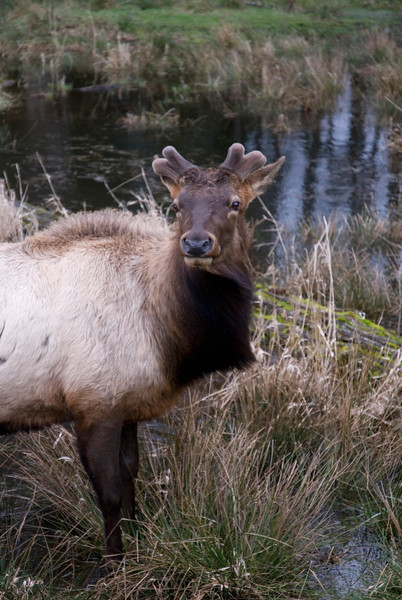 Roosevelt Elk<br /> Wildlife photography - Pictures of Animals - by professional wildlife photographer Christina Craft