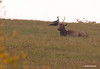 Spike Elk and Turkey, this photo was taken at about 700 yards on a very hazy afternoon and is not the best of photos but I felt it was worth posting because it has a Turkey and Elk this close.