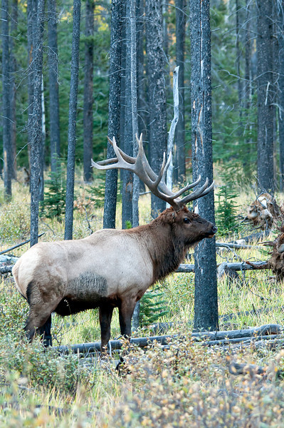 MEK-11057: Bull Elk in heavy pine forest