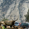 A male bull elk in a herd /herim of does. Camped outside of the ranger station in Yellowstone National Park, America.