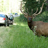 Wapiti elk pauses at the side of a road as cars drive by and pull over - nature stock photo
