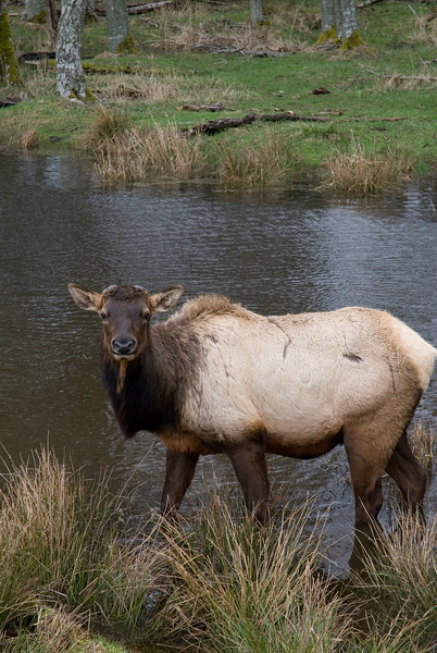 Roosevelt Elk<br /> <br /> Wildlife photography - Pictures of Animals - by professional wildlife photographer Christina Craft