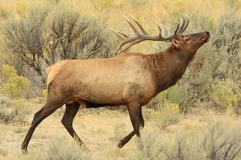 6x7 Bull Elk Herding Cows