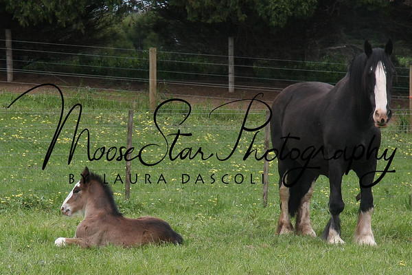 Southern Cross Shires - Foals