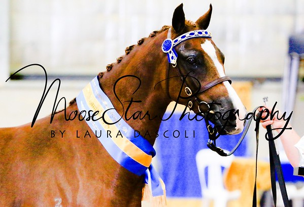 Victorian Arabian State Championships 2014 - Laura Dascoli