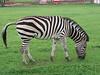 Zebra - 2