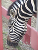 Zebra - 1