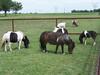 Shetland Pony - 2