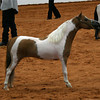 Perfecta's Little Andy's Legend won the top 5 stallions in Worlds competition, halter class