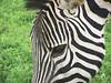 Zebra - 3