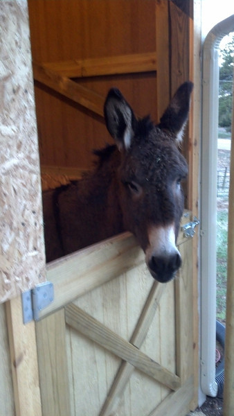 Samwise the donkey in his new stall, first morning after arriving.