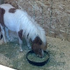 Legend is a messy eater!  Most of the time he kicks the hay out of his feed dish... THEN eats it.