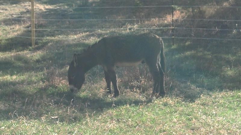 Peaceful Samwise the donkey, enjoying the mountain grazing