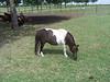 Shetland Pony - 1