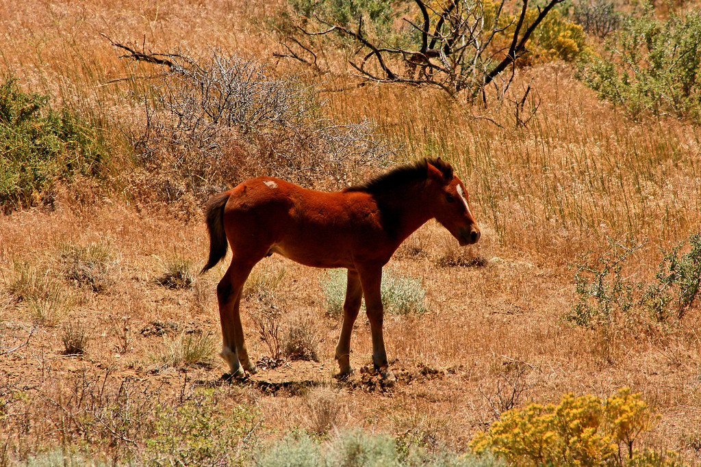 Wild Mustang Colt