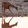 Giraffe drinking in the late afternoon at the Okaukuejo waterhole