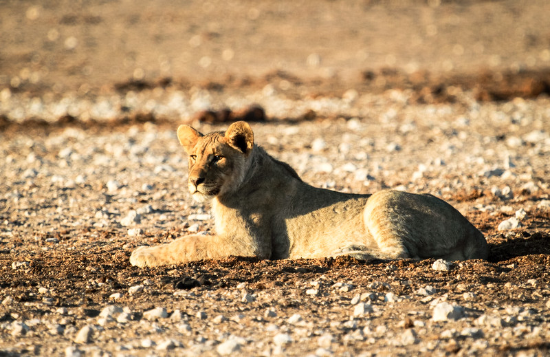 Young lion at the Nebrowni waterhole