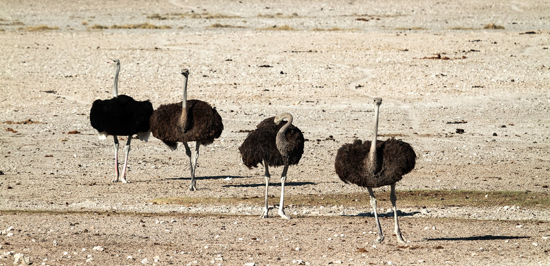 Ostriches - follow my leader!