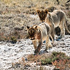 Two lion cubs in the Etosha National Park