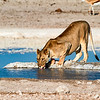 Lioness drinking at the Nebrowni waterhole