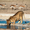 Lioness drinking at Nebrowni waterhole
