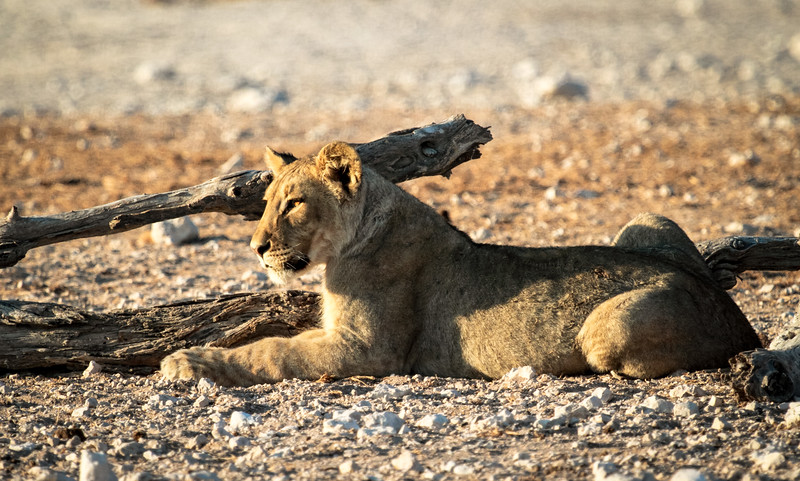 Young lion scouting the surroundings at the Nebrowni waterhole