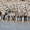 Zebras drinking at the Okaukuejo waterhole