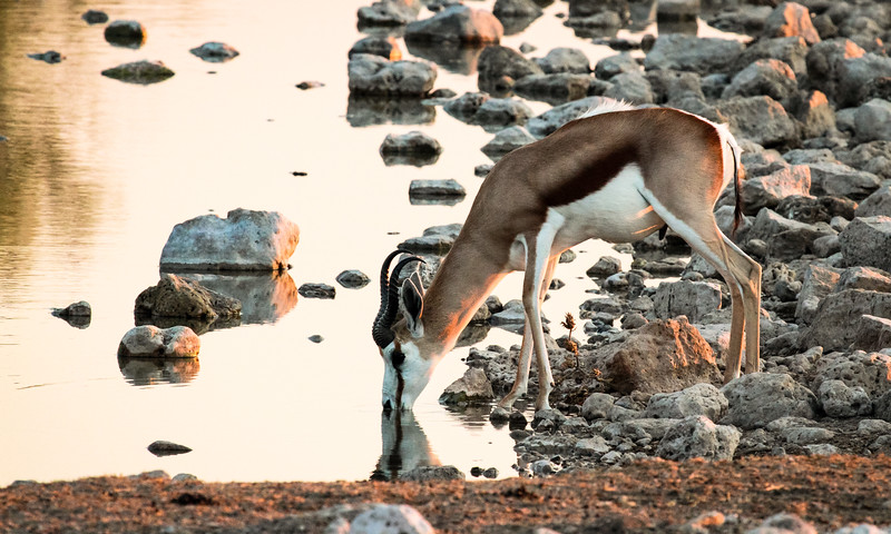 Springbok drinking in the late afternoon at the Okaukuejo waterhole