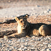 Young lion at Nebrowni