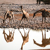 Giraffes drinking in the late afternoon at the Okaukuejo waterhole