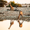 Giraffes drinking at the Okaukuejo waterhole