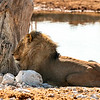 Large male lion resting in some shade