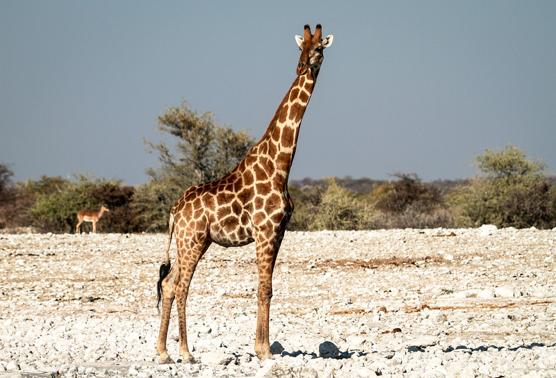 Giraffe on the lookout for predators