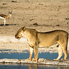 Lioness at the Nebrowni waterhole