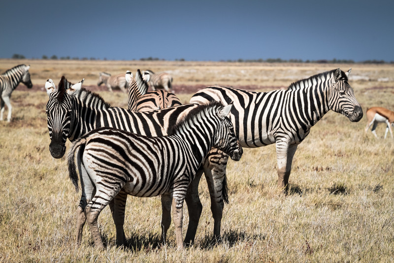 Zebras on the plains