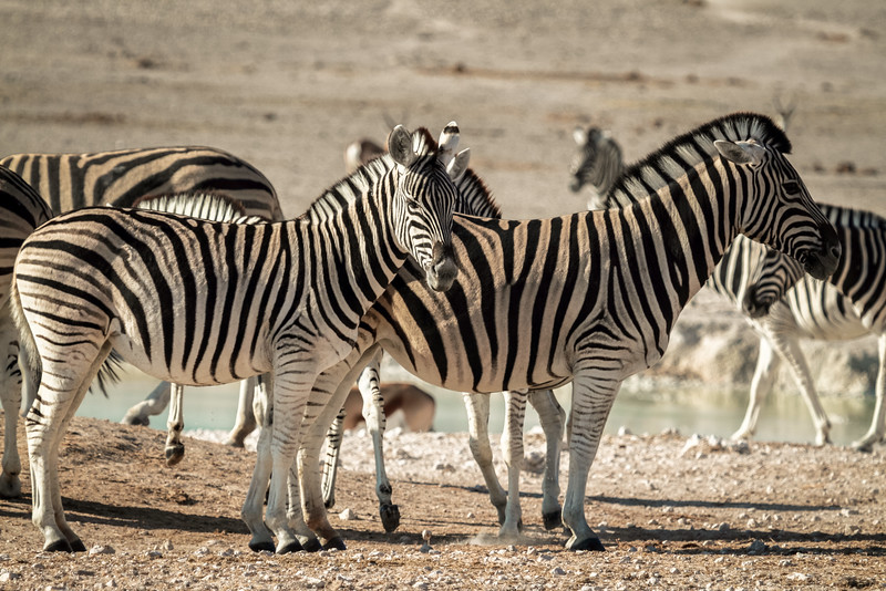 Zebras at the Nebrowni waterhole