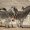 Zebras at the Nebrowni waterhole