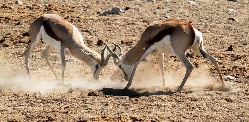 Springboks jousting - Okaukuejo